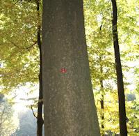 A Dicker Baum