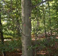 C Dünner Baum