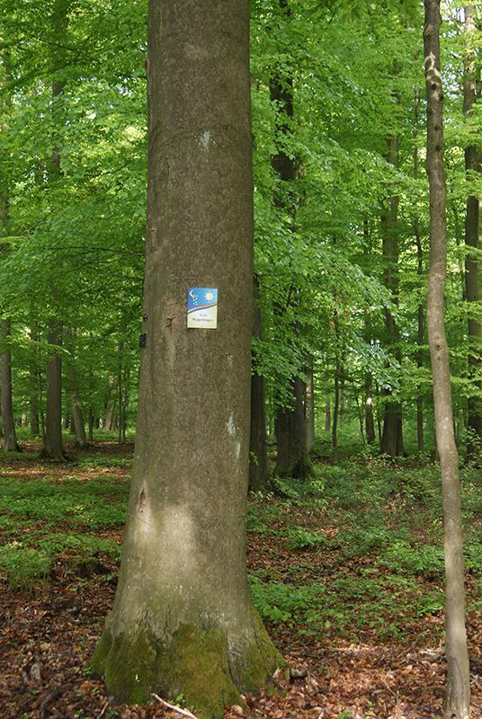Regenbogenbaum - Sterntalerbaum